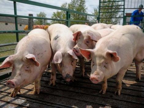 Megsínylette az idei évet a sertéspiac – drasztikusan csökkentek a termelői árak