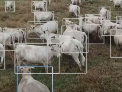 Drónok terelik a szarvasmarhákat Izraelben – VIDEÓ