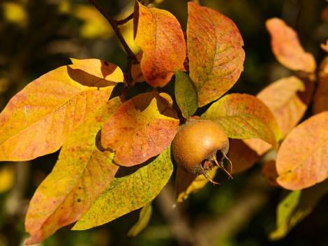 Naspolya: könnyen termeszthető gyümölcs, amit egész télen át ültethetünk – majd szedhetünk