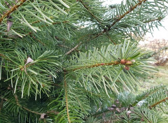 Karácsonyfa 1x1: milyen fenyőfát vegyünk és hogyan tehetjük tartóssá?