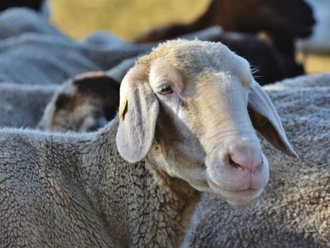 Kedvező feltételekkel folytatódhat a kéknyelv betegségre fogékony állatok szállítása
