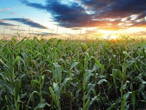 Kukorica és napraforgó: tanulságos látni, mit vetettek a magyar gazdák