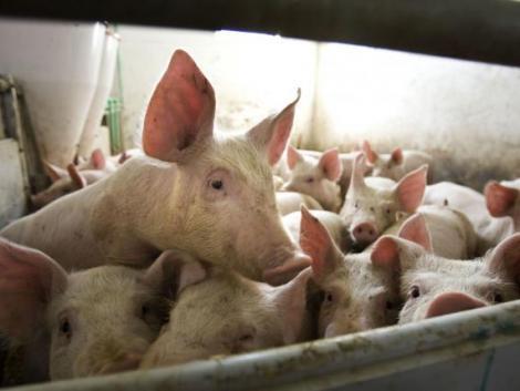 Sertéstartók figyelem! Ismét igényelhető lesz az állatjóléti támogatás