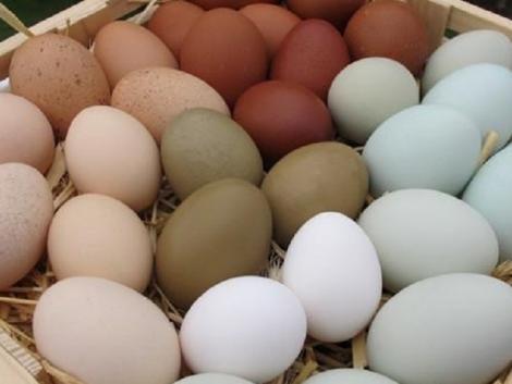 Omega-3 tojást tojó tyúkokat nevelnek a Szent István Egyetemen