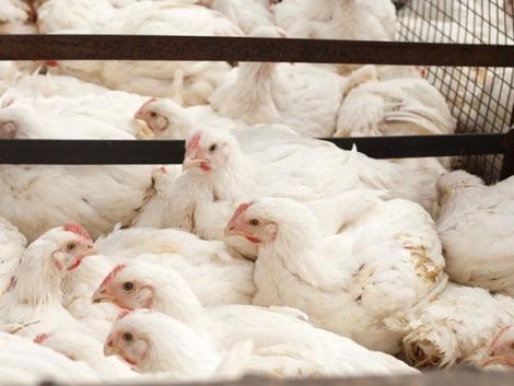 Tudtad? Fenyő tűlevél-porral etetik a brojler csirkéket!