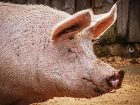Amerikában engedélyezték a GMO sertéshúst