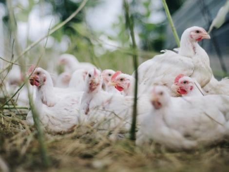 Madárinfluenza-fertőzés miatt leölnek több mint egymillió csirkét