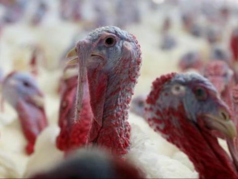 Újra betört Magyarországra a madárinfluenza – 90 000 pulyka leölését rendelték el