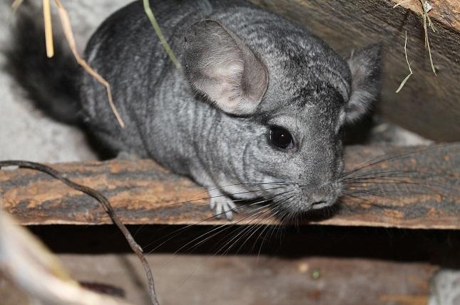 A csincsillatenyésztő állatfarmok a tenyésztők szerint megfelelnek az állatjóléti feltételeknek.
