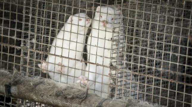 Több ezer nyércet öltek le a dán állatfarmokon.