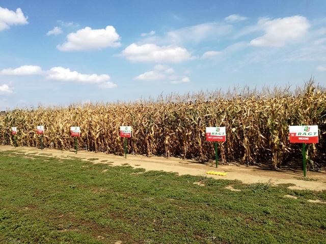kukorica fajták vetőmag