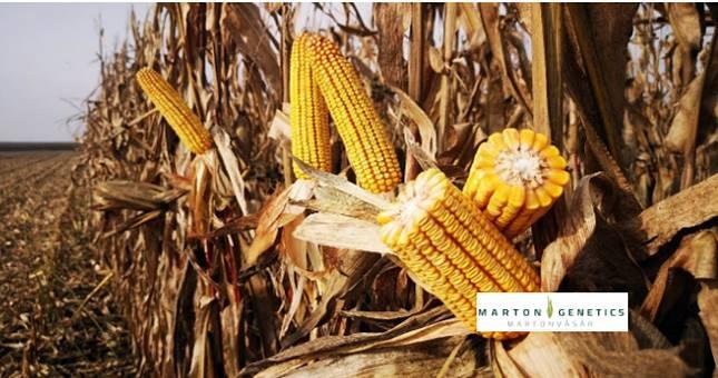 kukorica hibrid