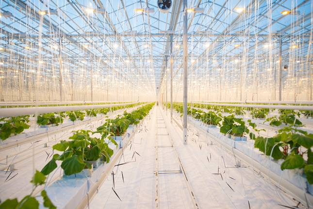 A vertikális farmon naponta 3 tonna salátát és egyéb zöldséget fognak előállítani.