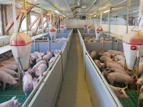 A holland sertéstartók helyzete egyre kritikusabbra fordul