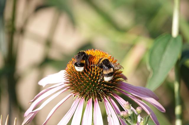 A poszméhek a nektár begyűjtésében szabályos munkamegosztást és tervezést alkalmaznak.