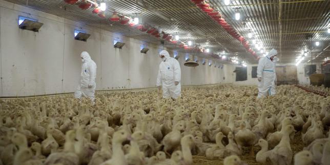 Európában több helyen megjelent a madárinfluenza H5N8 szerotípusa, amely egy nagy fertőzőképességű madárinfluenza-vírus.