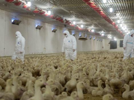 Az erősen fertőző madárinfluenza-típus jelent meg Magyarországon