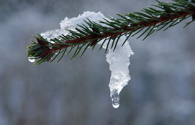 örökzöld télen