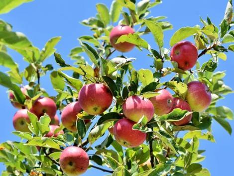Frissült a gyümölcsfaiskolai szaporítások és gyümölcstörzsültetvények adatbázisa