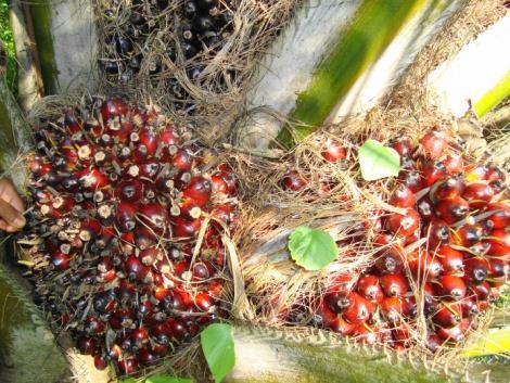 Évtizedes csúcson a pálmaolaj ára, ezért az élelmiszerárak további emelkedése várható