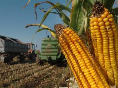 A tudósok megfejtették a kukorica szuper fotoszintézisének titkát