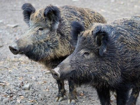 Országos főállatorvos: sürgősen gyéríteni kell az ország vaddisznóállományát