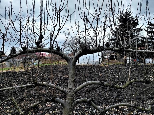 gyümölcsfa almafa metszése