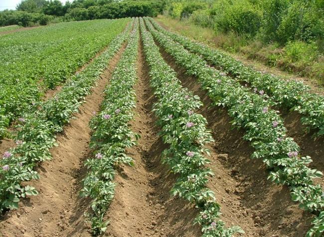 Hogyan mentsük meg a burgonyát?