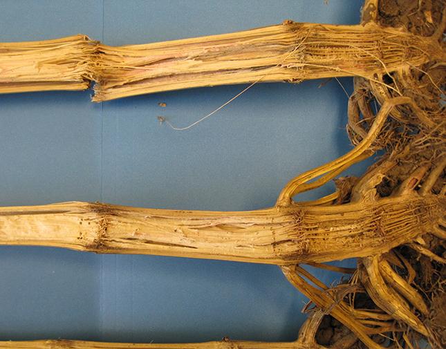 Fuzárium fertőzés kukorica szárán