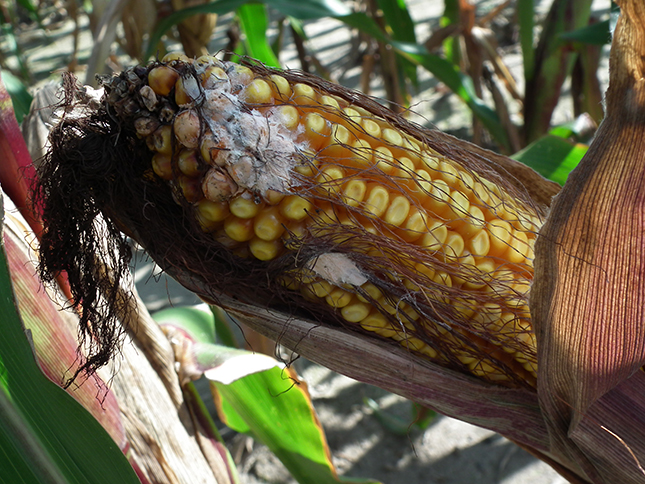 Fuzárium gomba fertőzése kukoricacsövön