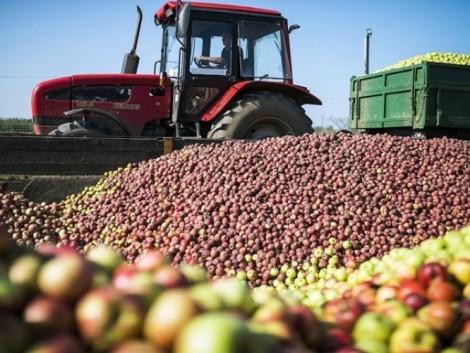 Az idei almatermés az átlagosnál 25 százalékkal lesz kevesebb