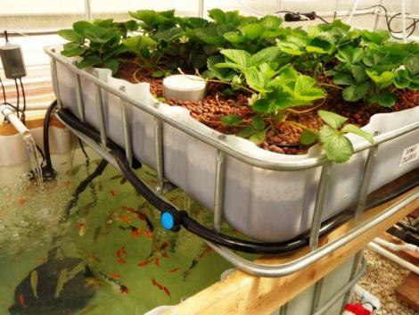 Saját zöldség és hal akár a hátsókertből? – Akvapónia kezdőknek