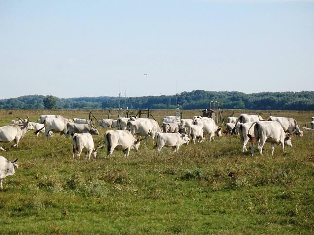 legelő szarvasmarha