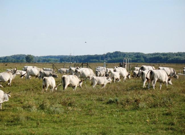 Klímavédelem a gyepeken: az állattenyésztés okozta károk csökkenthetők!