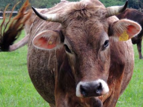 Kezdő marhatartóknak tökéletes fajta: a kárpáti borzderes