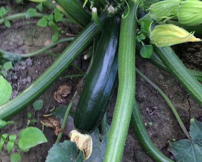 cukkini zöldség