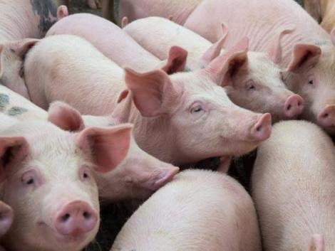 Fenekestül felfordult a sertéspiac – hatalmasat változtak az árak