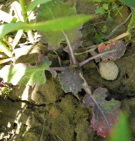árvakelésű őszi káposztarepce