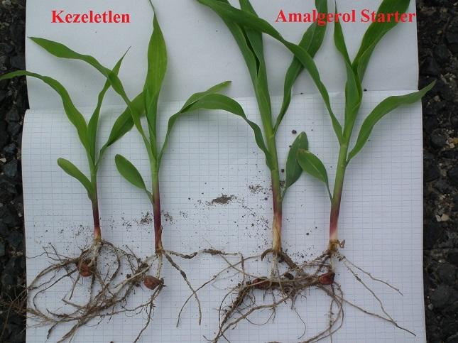 Az Amalgerol Starter hatása kukoricában