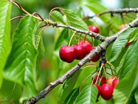 Így védd meg a szőlőt és a gyümölcsfákat a kórokozó gombáktól