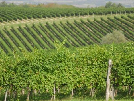 Támogatás érkezik az amerikai szőlőkabóca elleni védekezéshez