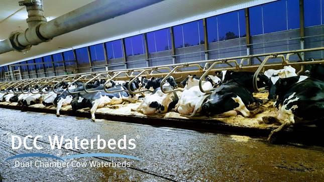 Vízágy szarvasmarháknak