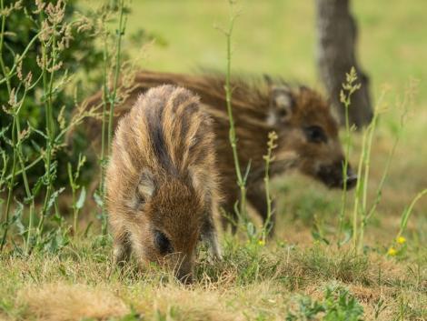 Fokozottan figyeljünk a vaddisznók fialási időszaka miatt!
