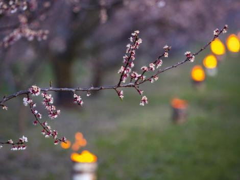Nem okozott komoly kárt a gyümölcsösökben a februári kemény fagy
