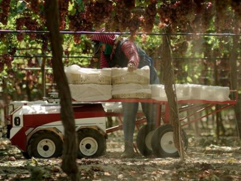Munkások helyett önjáró robotokkal spórolhatnak a brit kertészetek