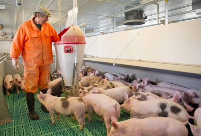 Sertéshús előállításához elengedhetetlen a megfelelő minőségű takarmány