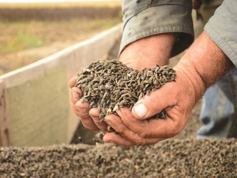 Syngenta: komoly lehetőségek vannak a hazai napraforgó-termesztésben