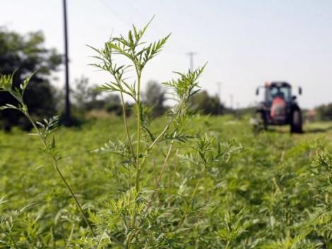 Új eszközzel veszik fel a harcot a kiirthatatlan inváziós növények ellen