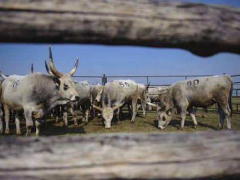 Akik megmentették a magyar szürke marhát