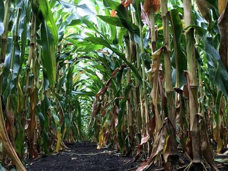A pénztárcánk is bánja, ha rosszkor gyomirtjuk a kukoricát – találjuk meg az arany középutat!
